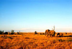 Savannenbewohner in Kenia: Afrikanische Elefanten