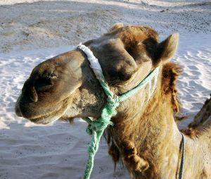 Auch in Marokko unterwegs: Kamele und Dromedare