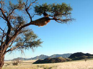 Das Nest eines Webervogels, ein häufiger Anblick in Namibia