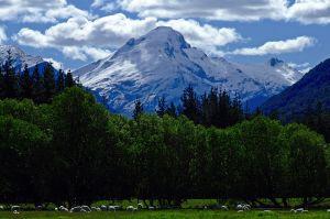 Kontraste in Neuseeland:Eisblaue Berge und Gletscher über grünen Wiesen und Wäldern