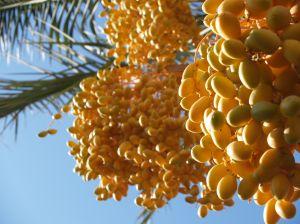Prächtige Datteln an der Palme